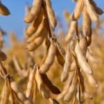 soybean, blog
