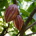 cacao tree, superfood