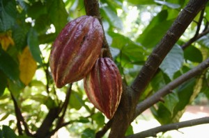 cacao tree, superfood