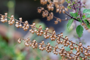 Tulsi: The Most Sacred Plant In Ayurvedic Medicine